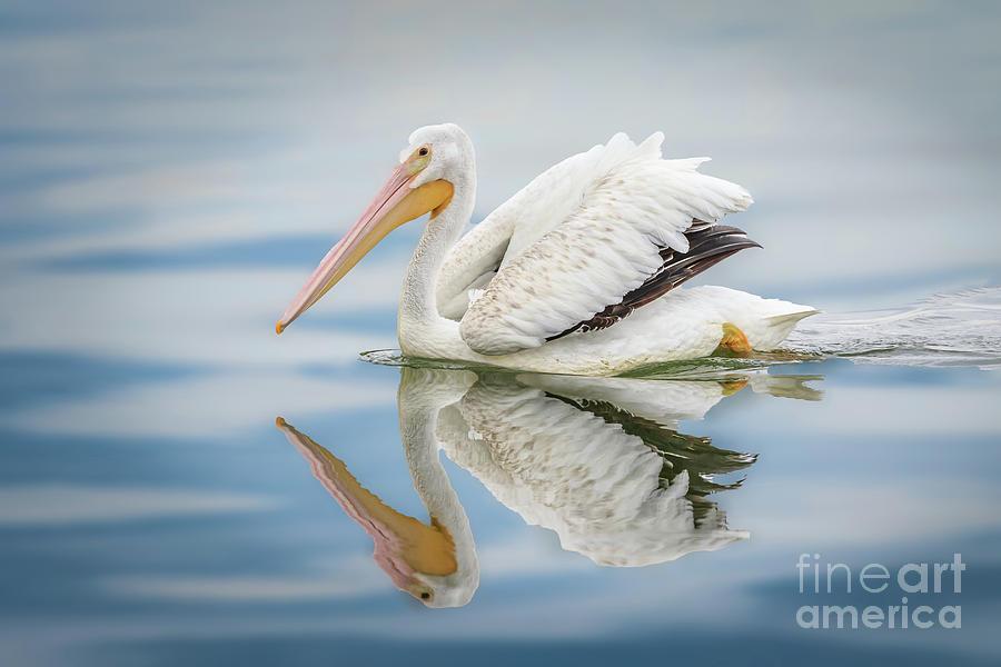 American White Pelican Swimming In Photograph