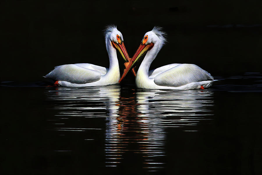 American White Pelican Photograph - American White Pelicans by Shixing Wen