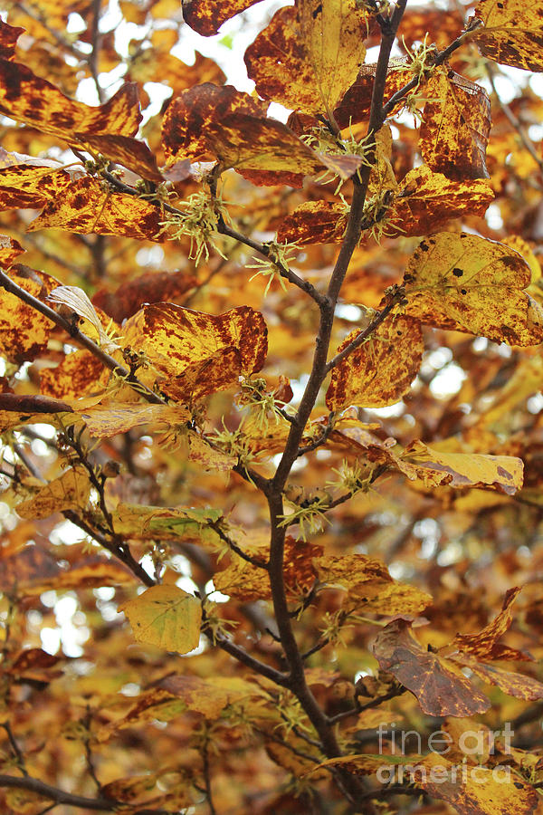 American Witchhazel In Shenandoah National Park Photograph By
