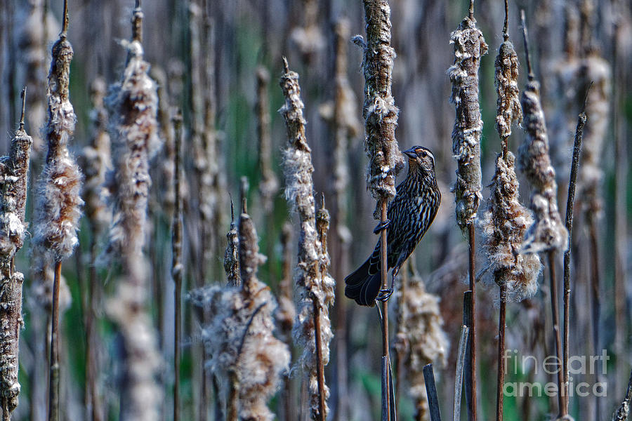 Among The Cattails Photograph