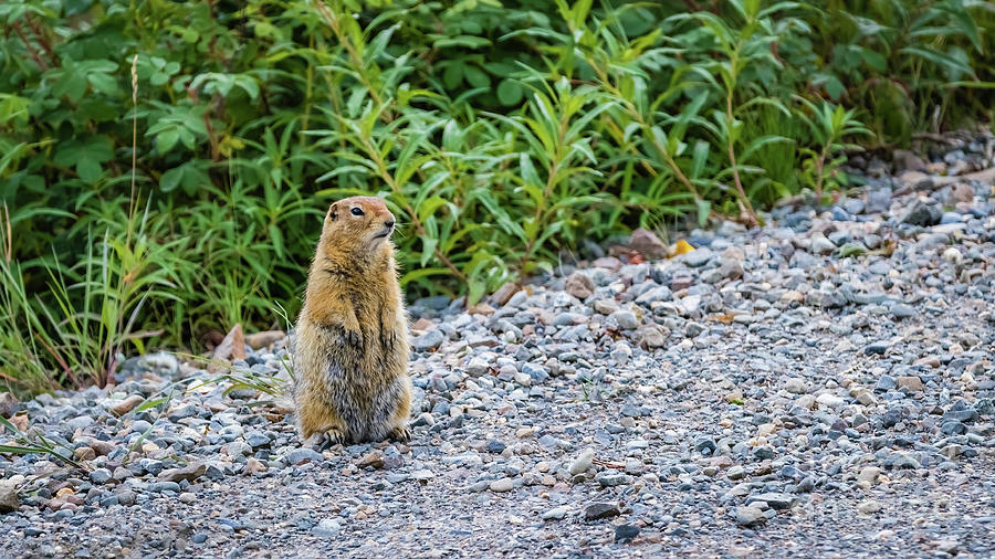 An arctic ground squirrel by Lyl Dil Creations
