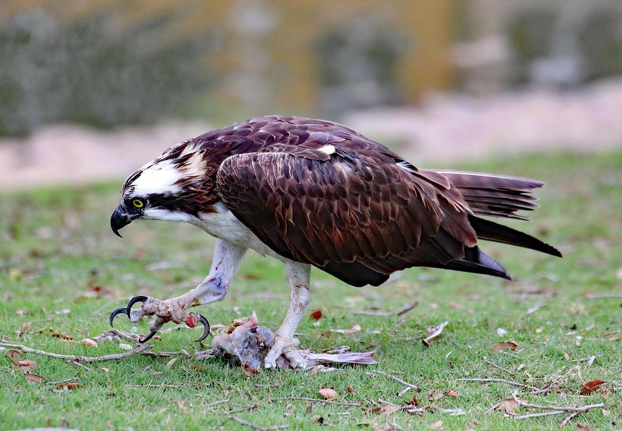 An Ospreys Talons Photograph