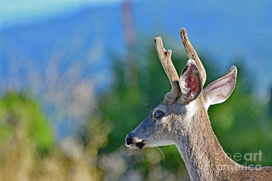 An Young Mule Deer Photograph