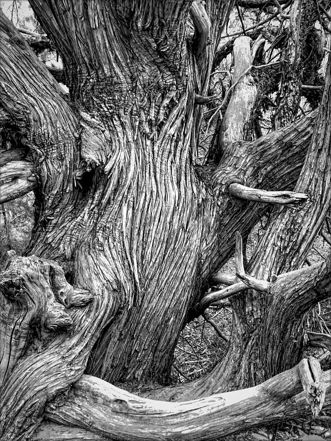 Ancient Gnarled Juniper Photograph