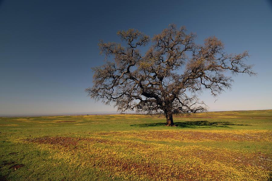 Ancient Solitary Oak Photograph