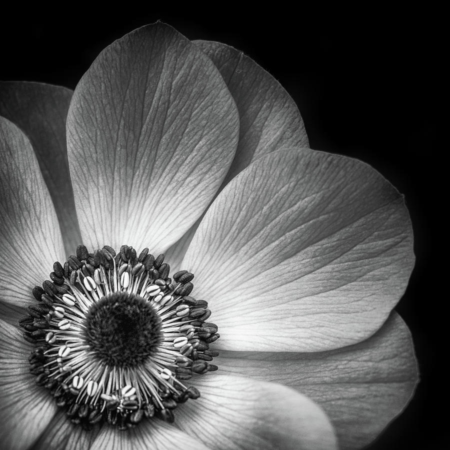 Anemone Flower Closeup In Black And White Photograph