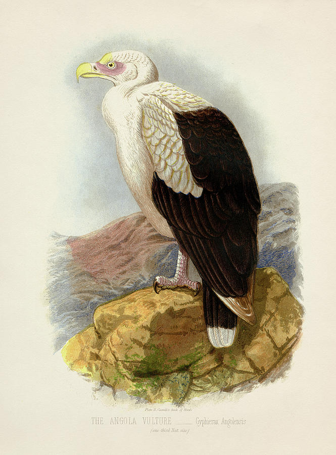 Angola Vulture - Gyphierax Angolensis Painting