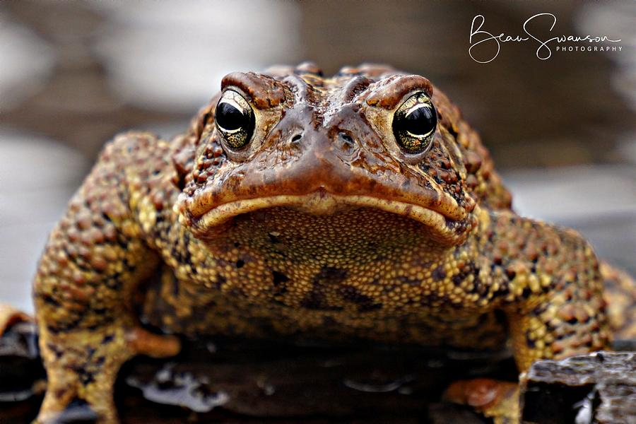 Angry Toad Photograph By Beau Swanson
