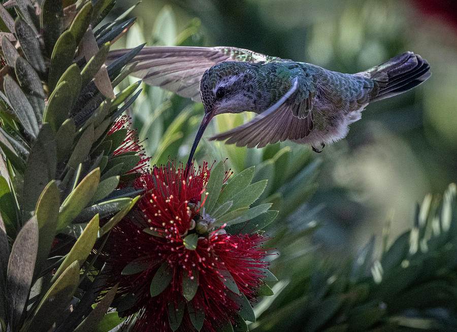Anna's Hummingbird by Hershey Art Images
