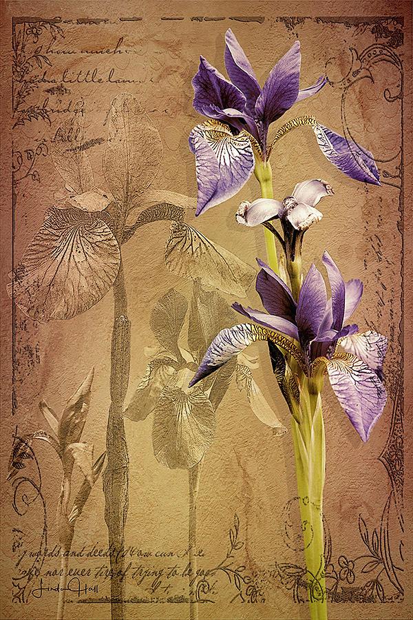 Flowers Digital Art - Antique Iris by Linda Lee Hall