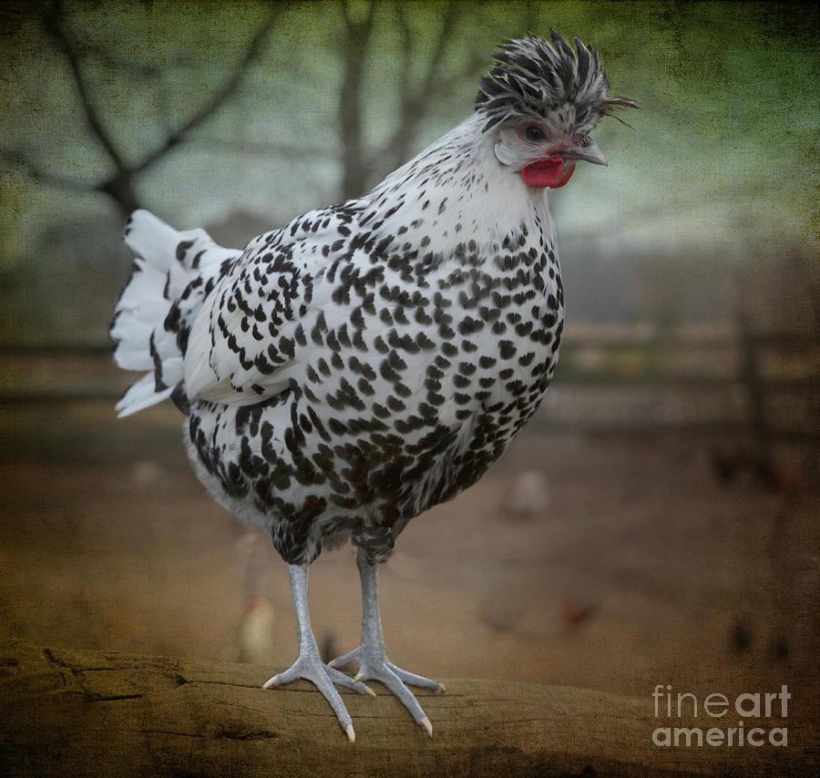 Appenzeller Chicken Photograph