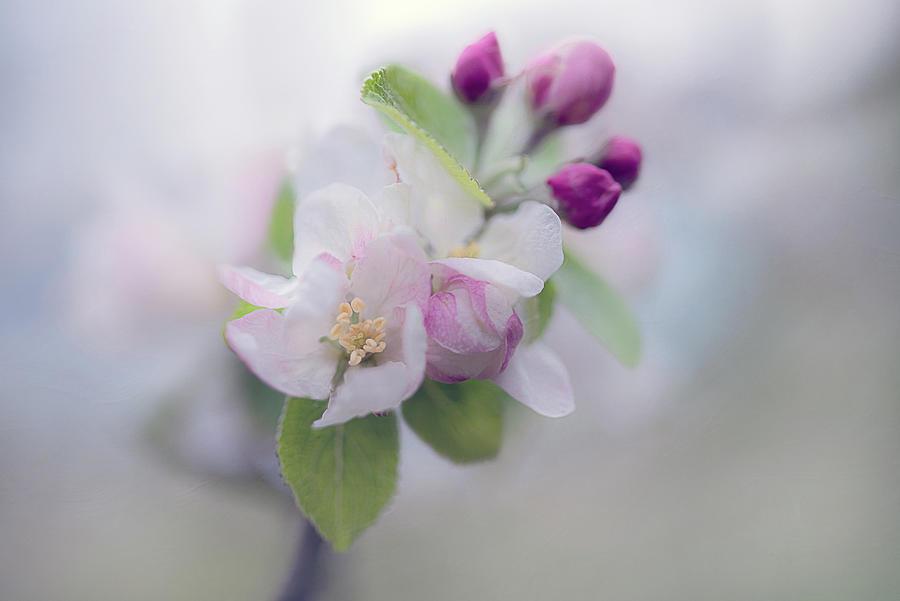 Apple Blossom Photograph