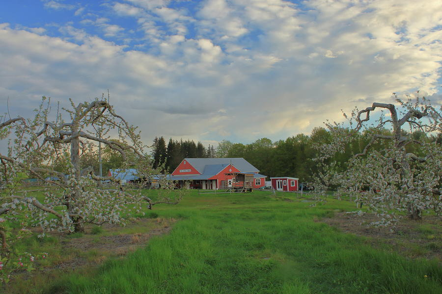 Apple Blossoms At Red Apple Farm Photograph