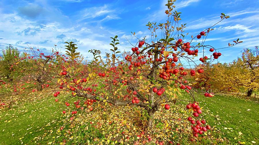 Apple Tree In Fall Photograph