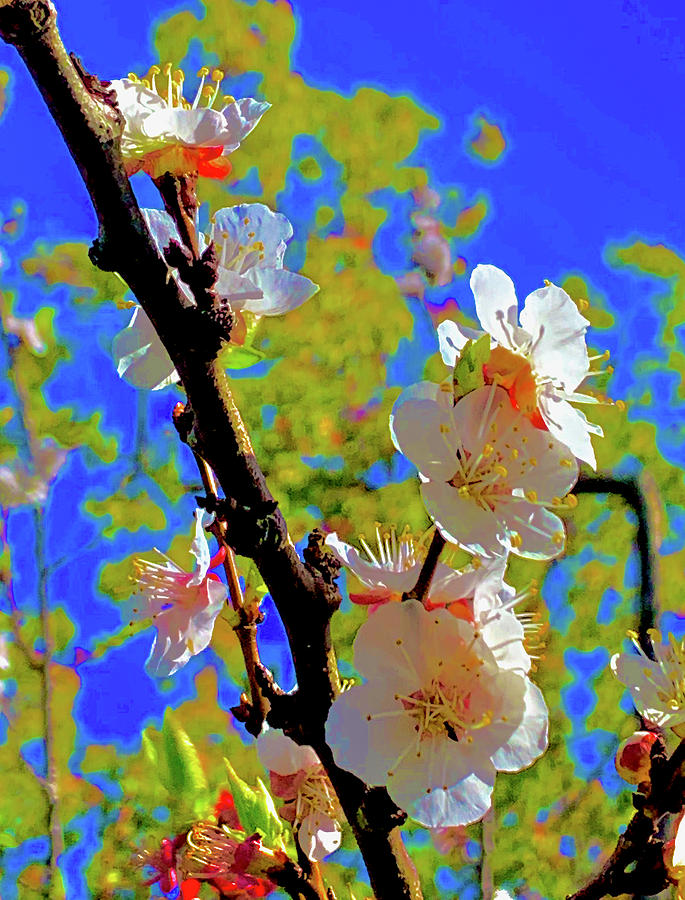Apricot Blooming Photograph