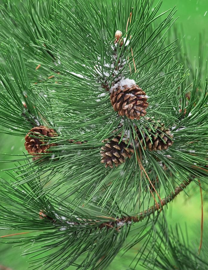 Pine Photograph - April Snowcones by John Bates