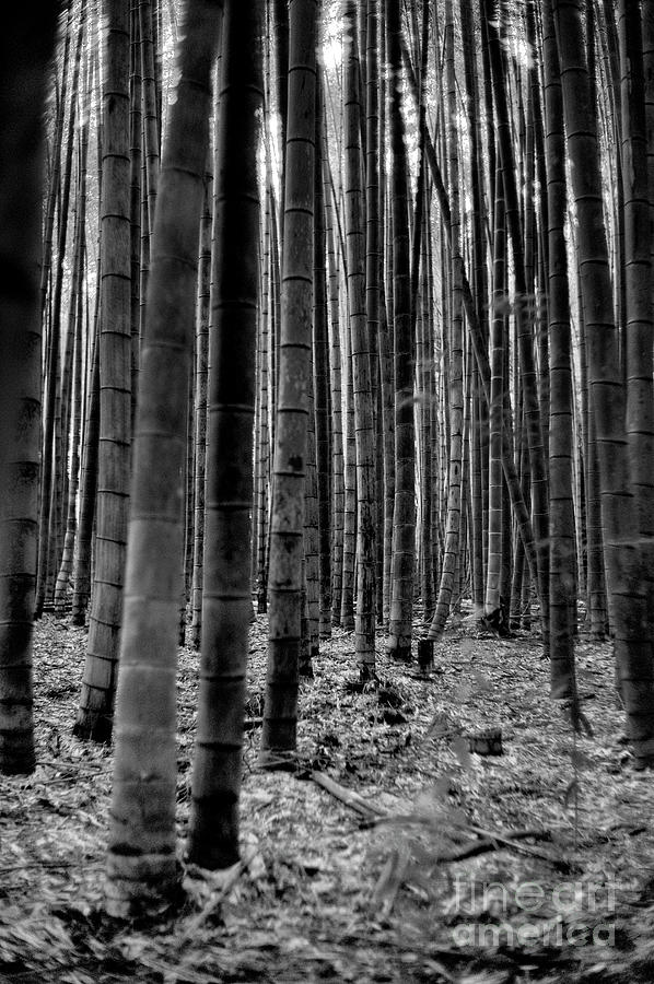 Arashiyama Bamboo Grove Black And White Photograph