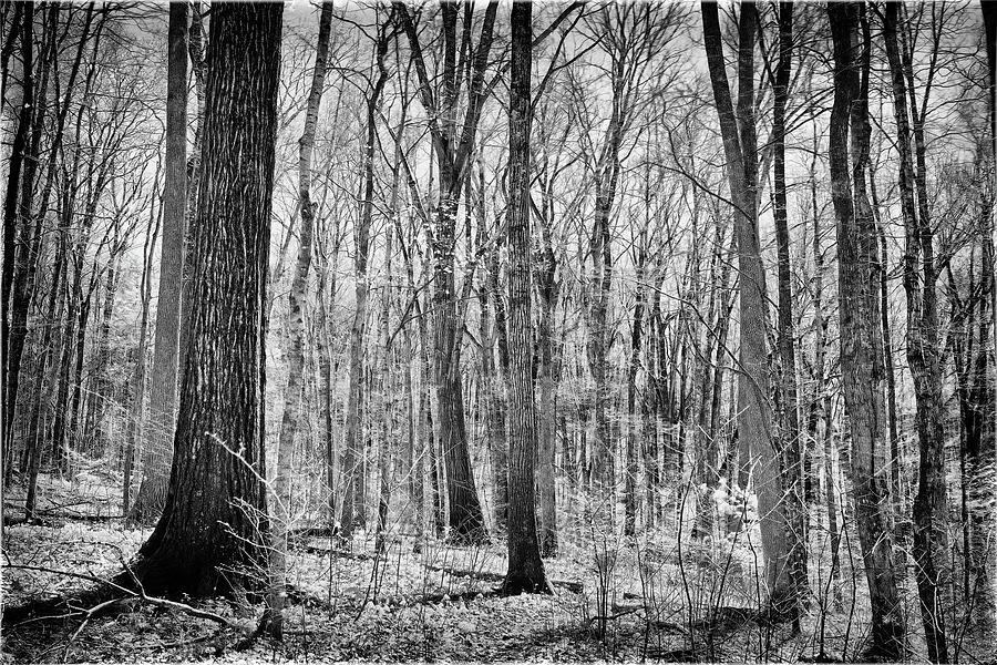 Arboreal Monochromia Photograph