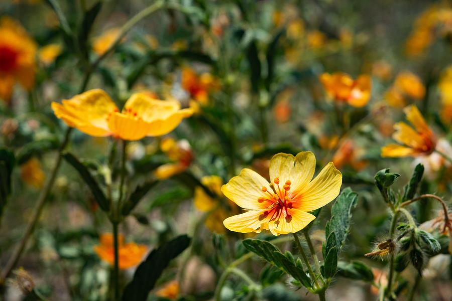 Arizona Poppies Photograph