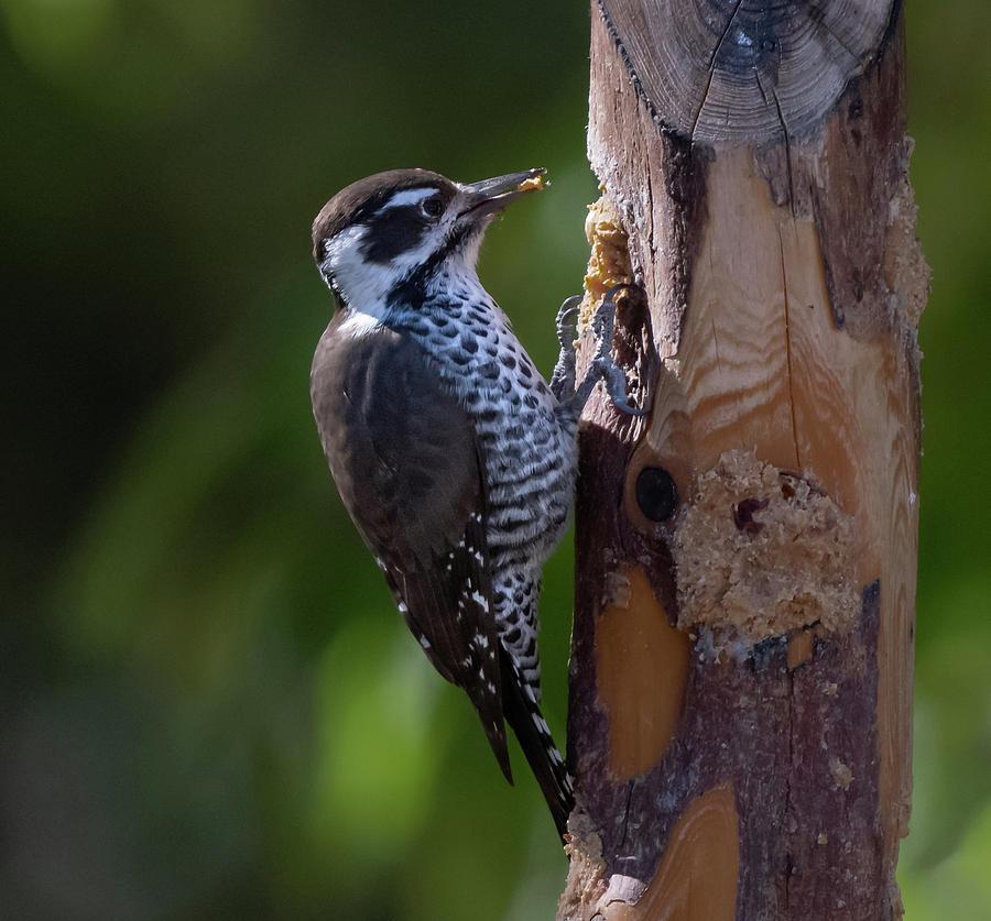 Arizona Woodpecker by Hershey Art Images