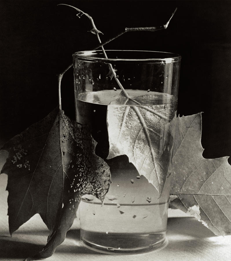Army Leaves, Fort Belvoir, Virginia, 1944 Drawing by Horst P Horst