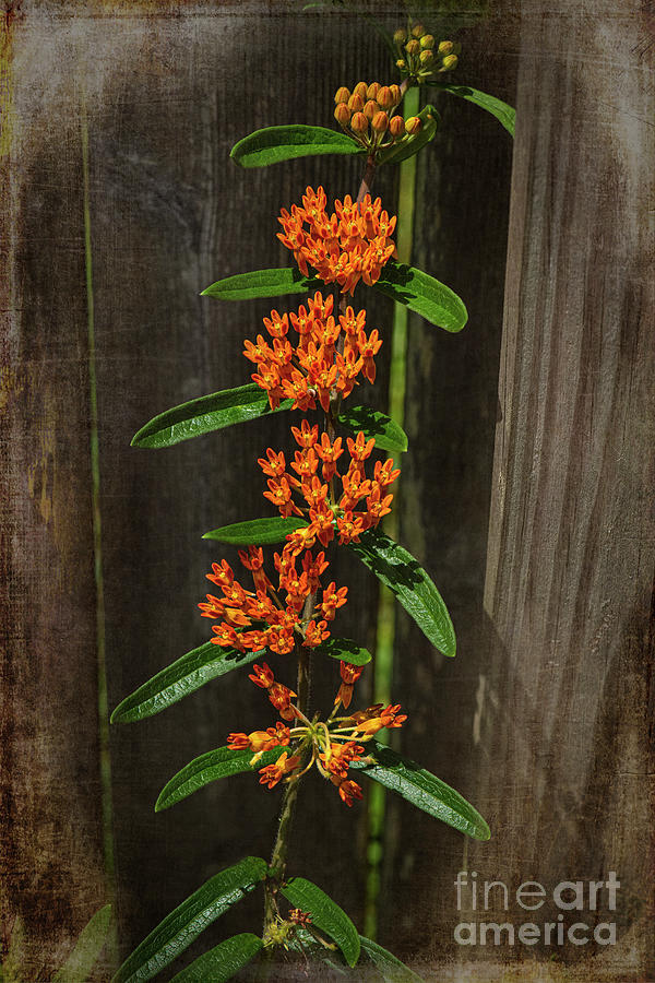 Asclepias Tuberosa-butterfly Weed Photograph