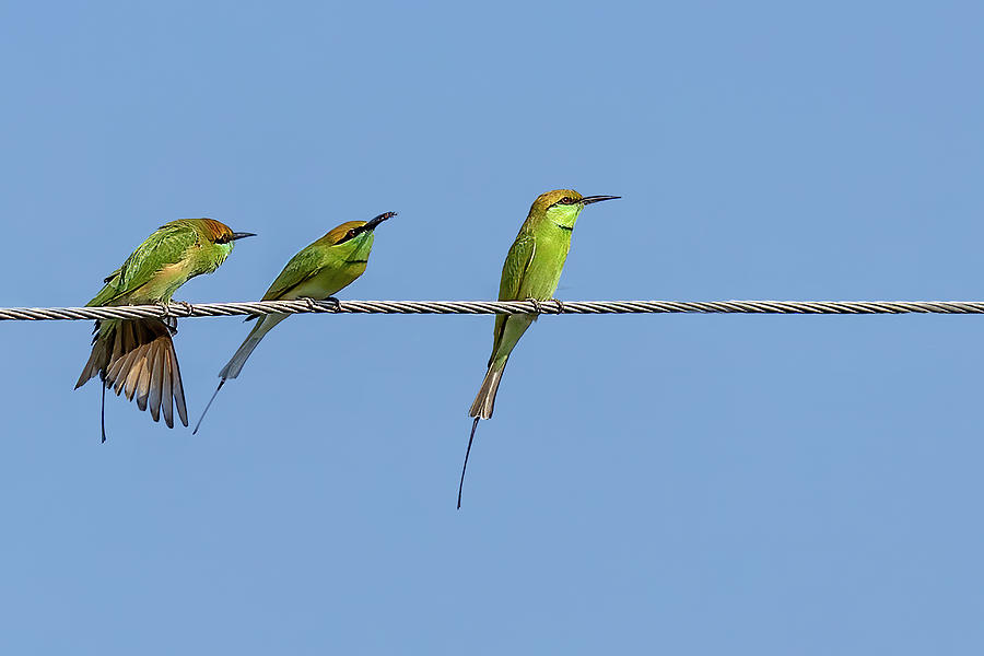 Asian Green Bee Eater by Kay Brewer