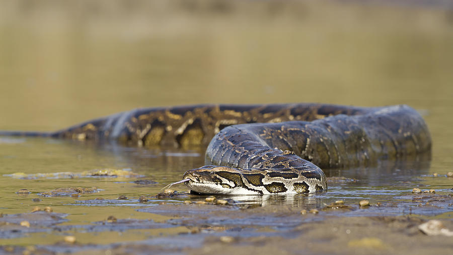 Asian Python in river in Nepal Photograph by Utopia_88