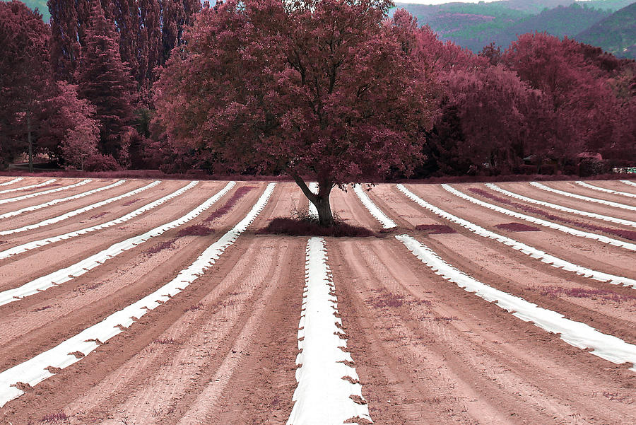 Asparagus Field - Surreal Art By Ahmet Asar Digital Art