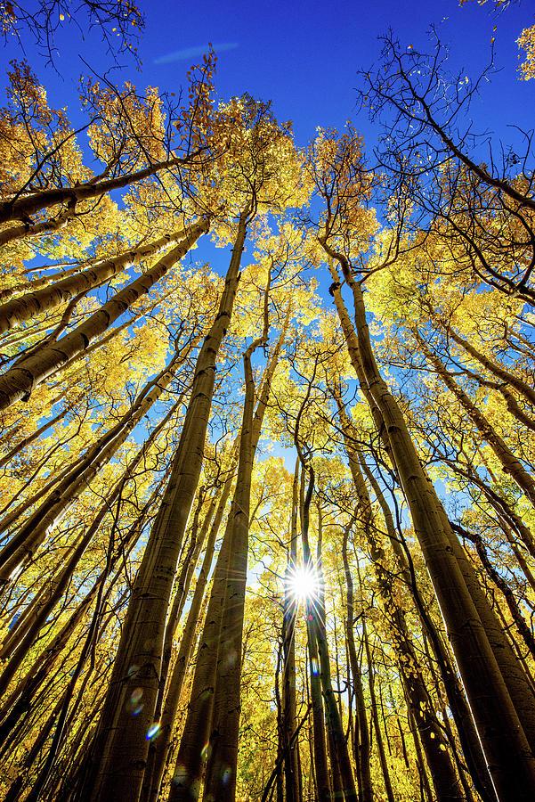 Aspen Tree Burst Photograph