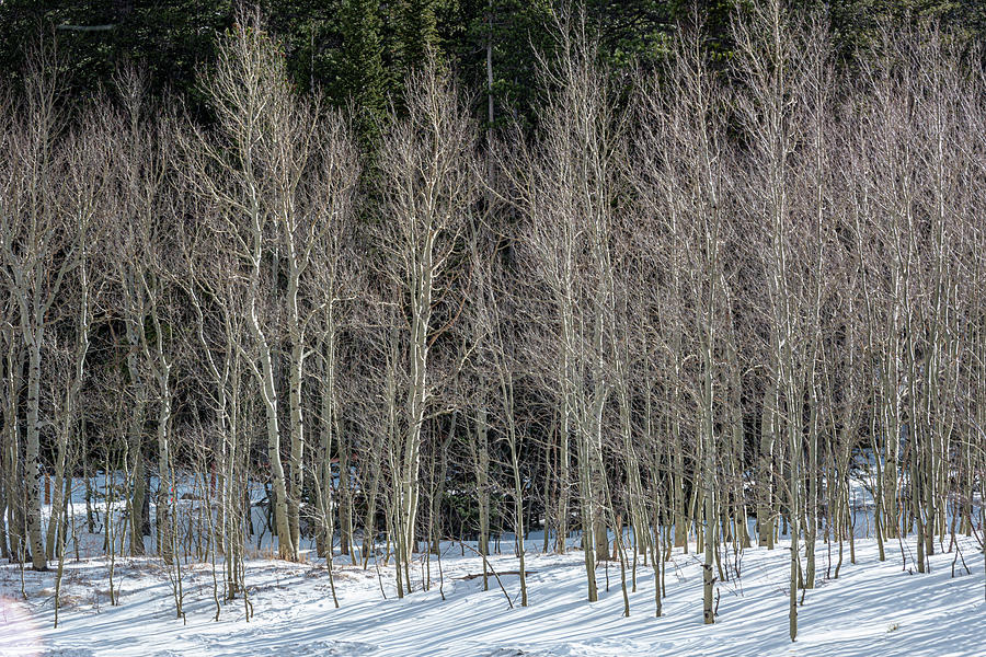 Rocky Mountain National Park Photograph - Aspen Contrasts by Douglas Wielfaert