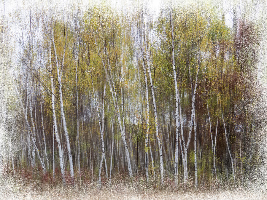 Aspen Trees at Lake Maria State Park MN by Patti Deters