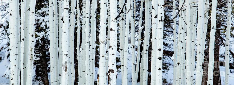 Aspen Trees North Rim Grand Canyon Photograph