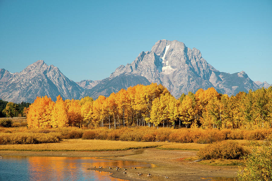 Aspens At Oxbow Bend Photograph