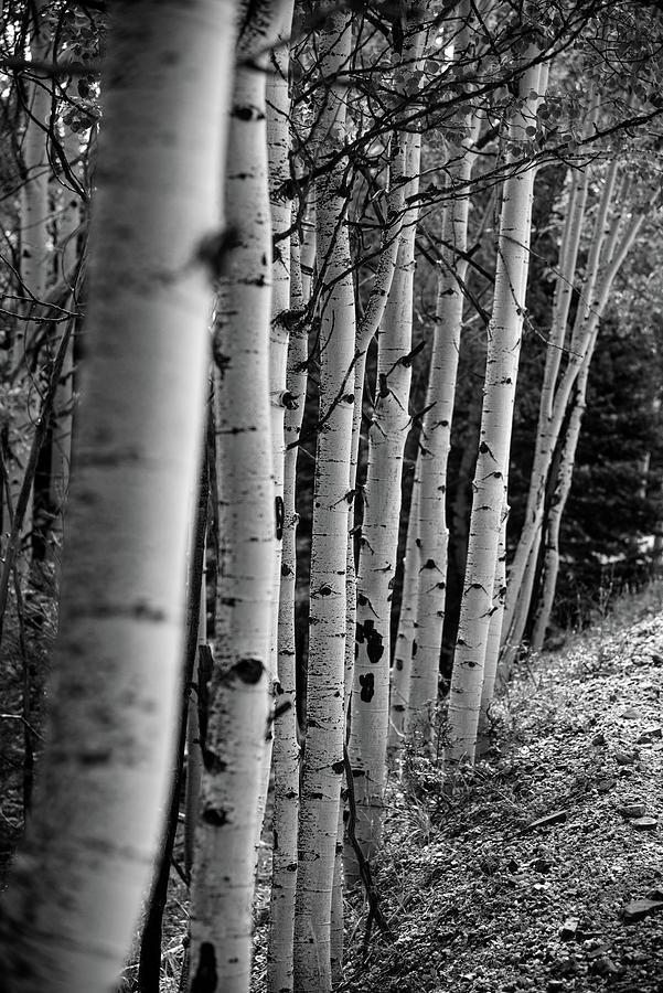 Angel Fire Photograph - Aspens in a Row by Lea Rhea Photography