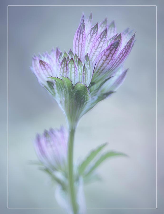 Astrantia Buds 3709 Photograph
