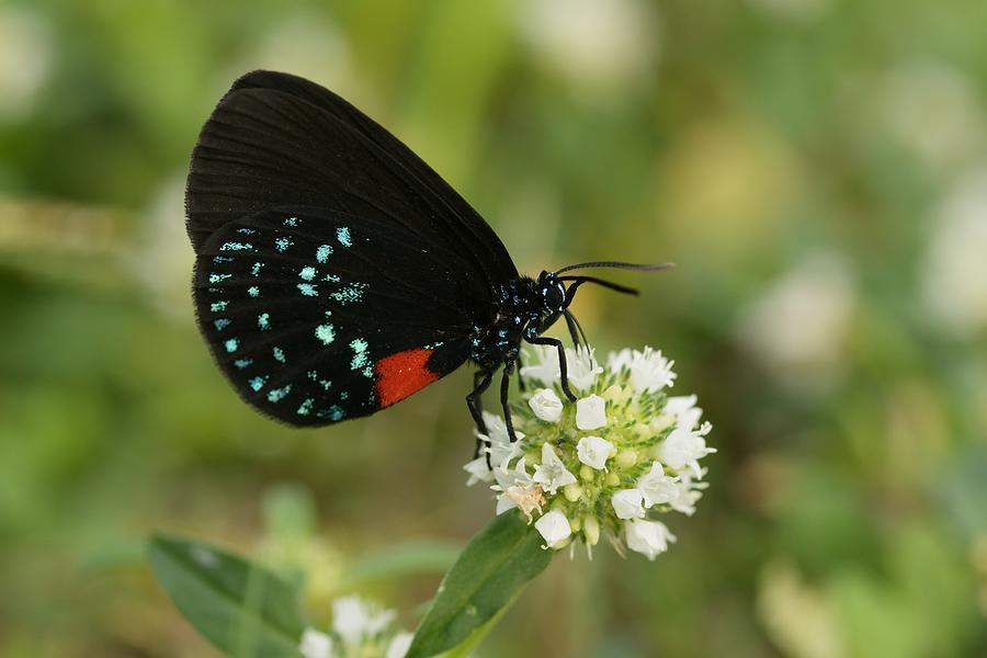Atala Butterfly Nectaring  by Bradford Martin