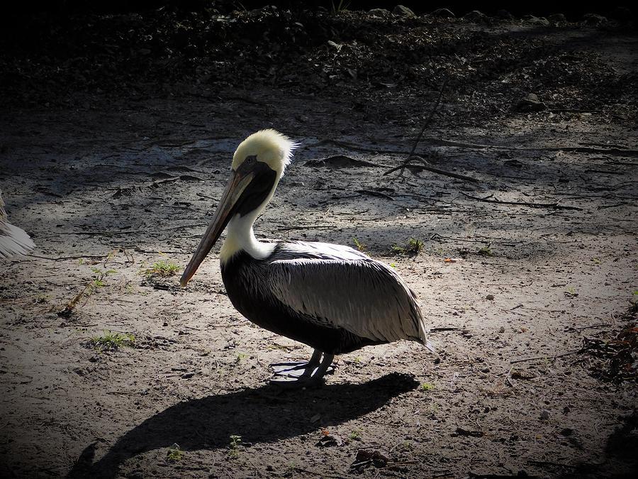 Atlantic Brown Pelican by Carl Moore