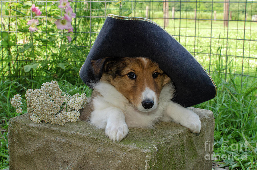 Audie, the Sheltie Puppy, with a Tricorn Hat by The Ford Family