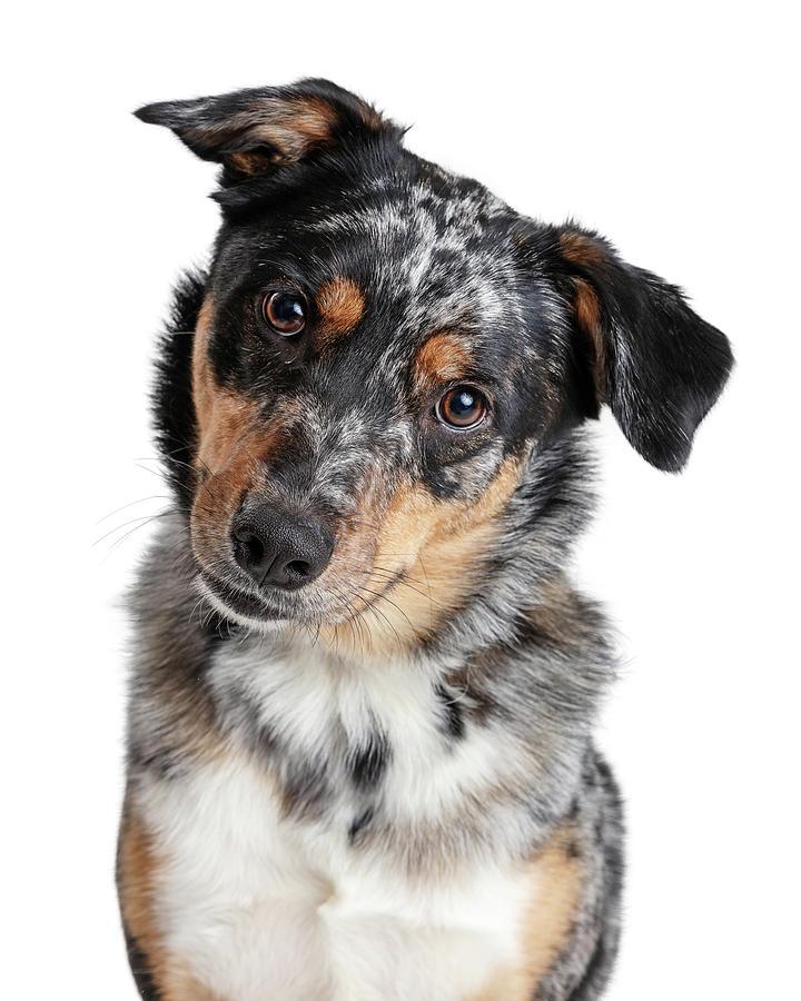 Australian Shepherd Dog Tilting Head Closeup  by Susan Schmitz