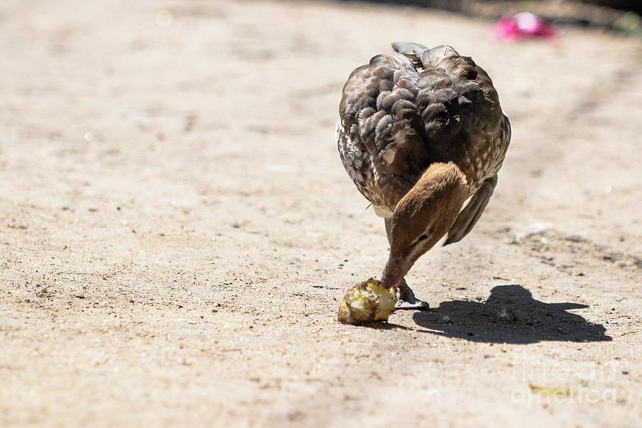 Animals Photograph - Australian Wood Duck by Nicki Hoffman