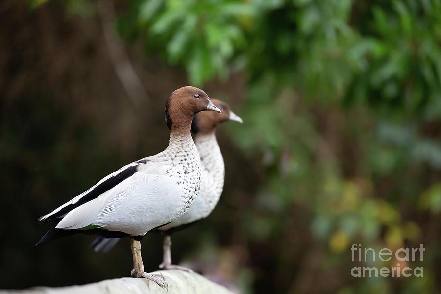 Australian Wood Duck Photograph - Australian Wood Ducks by Eva Lechner
