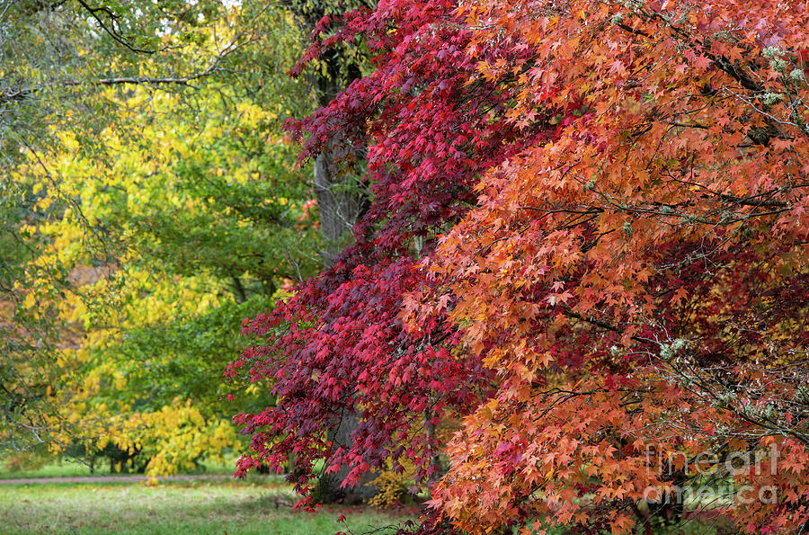 Autumn Acers by Tim Gainey