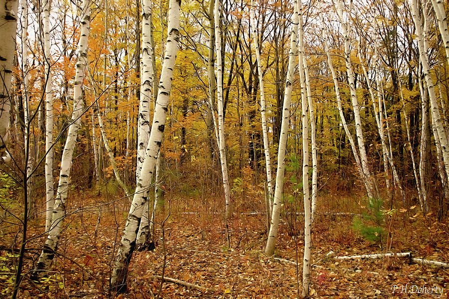 Autumn Among Birch Trees #2 Photograph