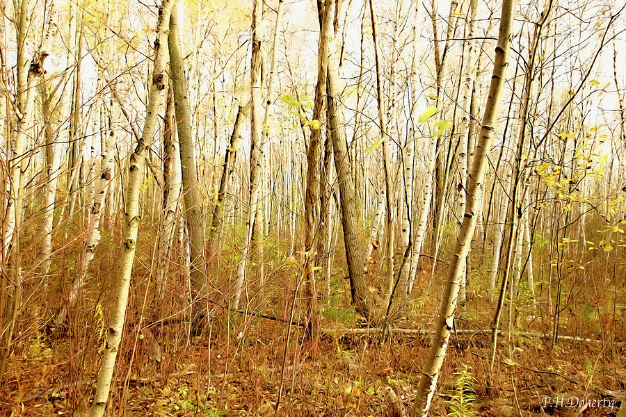 Autumn Among Birch Trees #3 Photograph