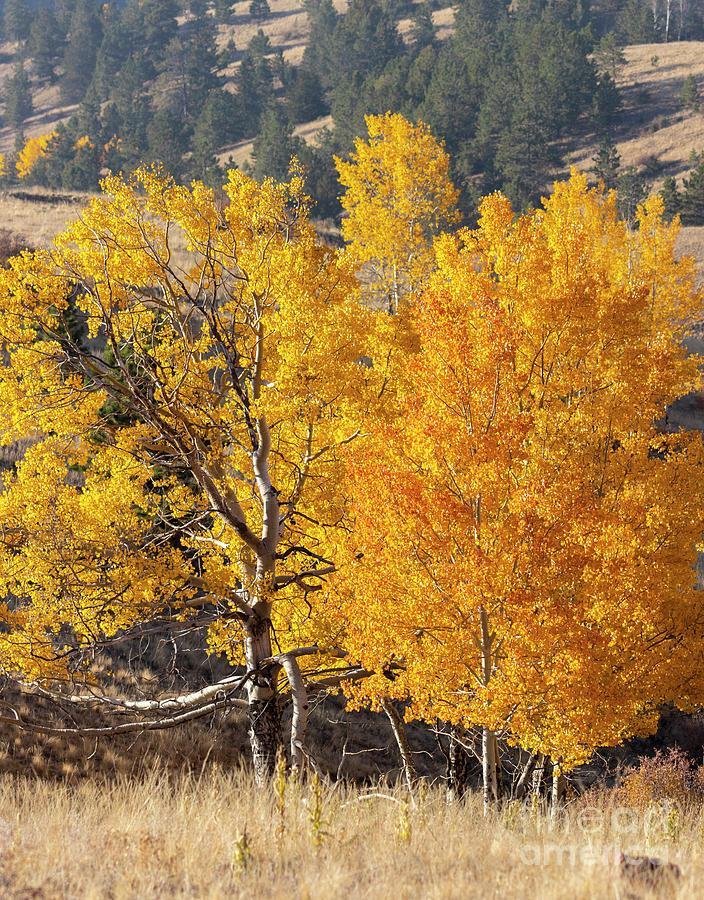 Autumn Aspen Meadow Photograph