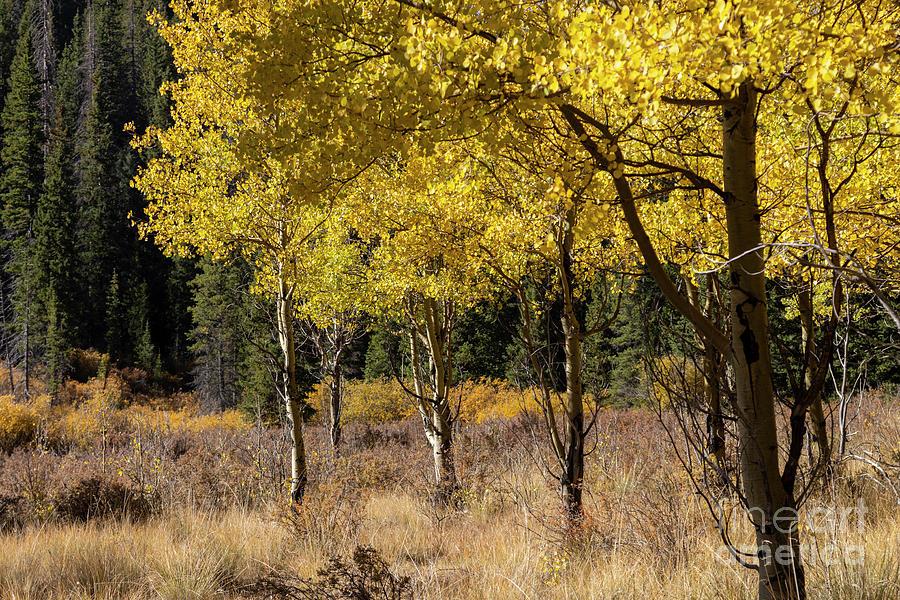 Autumn Aspen On Anne-marie Falls Trail Photograph