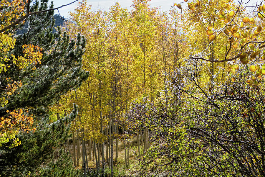 Autumn Aspens Photograph by Alana Thrower