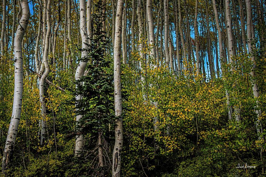 Autumn Aspens Photograph