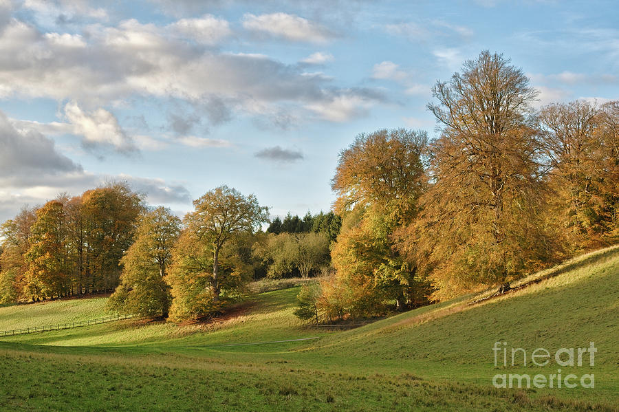 Autumn Beech trees in Blenheim Great Park by Tim Gainey